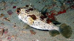 Black-Blotched Porcupinefish Scientific Name: Diodon liturosus dive site:panglima reef,mabul,sabah,Malaysia - Haoyi Huang - Google+