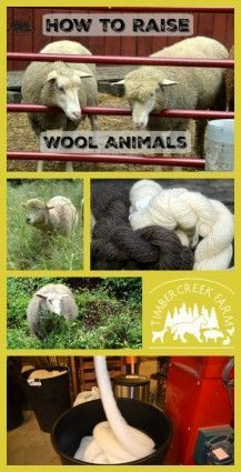 raise wool animals -I raise wool animals for yarn. The beginning of any wool yarn starts with fiber harvested from a wool producing animal. This is why we got into the world of keeping fiber goats and sheep. Beginning with Pygora Goats, we started to raise wool animals.   I don'€™t spin on a spinning wheel and frankly, I have no desire right now to learn how to do that.  Read more on the blog