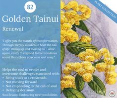 GoldenTainui - Renewal - helps to embrace and celebrate personal rites of passage. Assists in leaving the old life behind and stepping into the new, like the butterfly emerging from the chrysalis. Use at times of transformation opening the heart to the life of the soul and spirit world. Supports commitment to major inner changes and ability to forgive and transcend regret. Use during grief or after illness.