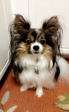 516 best papillons images on pinterest cubs dog biscuits and dog cat papillon solutioingenieria Images