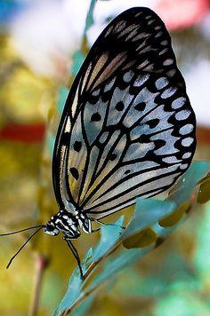 Silver & Black Butterfly