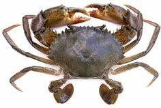 You can raise mud crabs in two systems. Grow out farming and fattening systems. The systems of farming in this two methods are shortly described here.