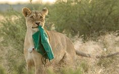 A lioness steals an outdoor shower from travellers in the Mabuasehube Game Reservein Botswana, South Africa. 31-year-old broker consultant, Petri Nienaber, captured these images of the lions as they made a break with his shower. The shower was recovered after watching the lion's antics for some time, in one piece.
