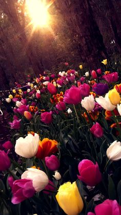 The tool for protecting apps, chat logs, and photos. Tulips Flowers, Pretty Flowers, Spring Flowers, Wild Flowers, Planting Flowers, Apple Wallpaper, Wallpaper Backgrounds, The Sky Is Everywhere, Flower Pictures
