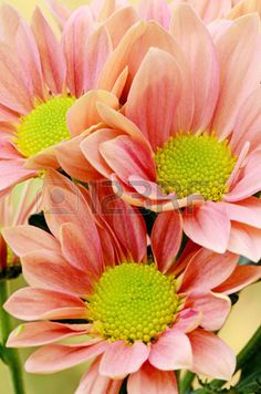 Picture of Spray Type of Orange Chrysanthemum Dendranthemum grandifflora in closed-up stock photo, images and stock photography. Types Of Oranges, Chrysanthemum, Close Up, Stock Photos, Plants, Image, Photography, Photograph, Fotografie