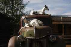 Goats rest on a vintage truck at Caribou Crossing near Carcross in Yukon, Canada.