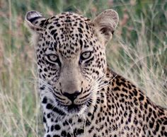 Leopard at Kapama Game Reserve..Hmmm, one ear back...is that a signal for attack?