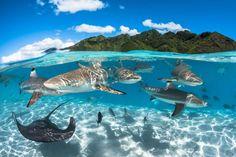 Requins à pointe noire dans le lagon Moorea, près de l'île de Tahiti