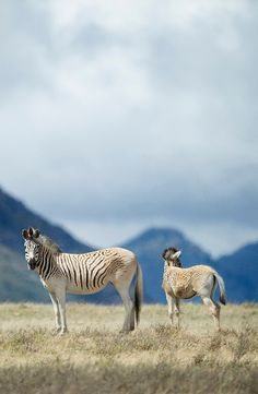 Des scientifiques font revivre le quagga, une espèce de zèbre Zebras, Giraffes, Animal Z, Paradise Garden, Equine Art, Planet Earth, Wildlife, Colours, Horses