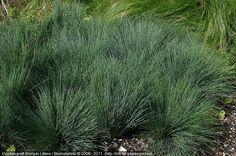 Corynephorus canescens 'Spiky' Blue Persistant H0.15 à 0.3m