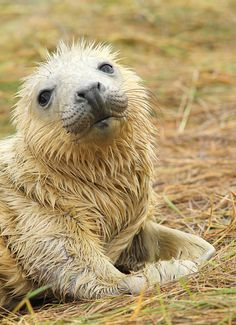 ~~I Know - I'm So Cute ~ Newborn gray seal pup by alison brown 35~~  How could anyone hurt this face?