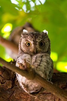 Scops Owl by chrisdx3 | Flickr