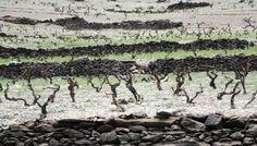 Ribeira Sacra mantiene el 2,5% del viñedo de montaña en el mundo
