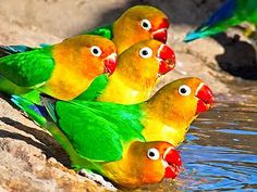 Fischer's Lovebird Jigsaw Puzzle, 48 Piece Classic. The Fischer's lovebird (Agapornis fischeri) is a small parrot species of the