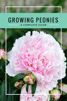 Your complete guide on growing peonies. Everything from soil conditions to USDA zones to the ants that love peonies too. Including how and when to cut peonies for vases so you can enjoy them indoors. And most importantly, what you can do if your peonies just won't bloom! #gardeningtips #peonies