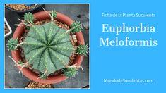 Euphorbia Meloformis - Fichas de Plantas Suculentas Cactus Y Suculentas, Cacti And Succulents, Plants, Gardening, Garden Ideas, Patio, Gardens, World, Indoor Plants