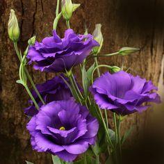 O Lisianthus está associado à sofisticação e elegância. No entanto, seu significado é de romance, razão pela qual é bastante comum encontrá-lo em decorações de
