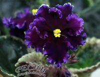 African Violet ~~ RS-Korsar  ~~ plant   Russian / Ukrainian Variety!