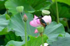 Kingfisher in Lotus Field by Mubi.A