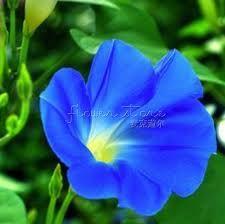 Resultado de imagem para ipomeia azul