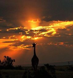 Enjoy this stunning shot of a giraffe silhouetted at sunset in the Masai Mara, Kenya by #wildographer @stevecatt.aakphotography. Give a follow and check out his website for...