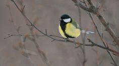 Lintujen talviruokintapaikan vieraista kannattaa pitää kirjaa. Jos havaitset 15 lajia, se on jo paljon. Tunnistatko talvisia lintulajeja myös pelkän äänen perusteella?