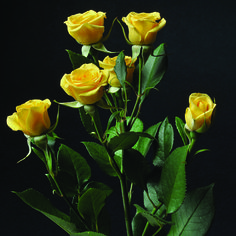 Yellow Babe #RosesColombia #RedilRoses #ColombianFlowers #Roses #BlomFlores #Regalos