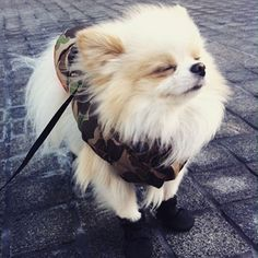 Nothing beats the feeling of wind blowing through your hair—not even if you're a three-pound, Manhattan-dwelling Pomeranian.