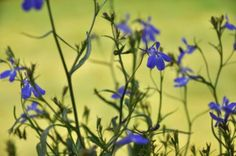Lobelia Tincture-working great for asthma that only starts up with a really bad cold. Asthma Remedies, Herbal Remedies, Home Remedies, Natural Remedies, Healing Herbs, Medicinal Plants, Natural Healing, Herbal Tinctures, Herbalism