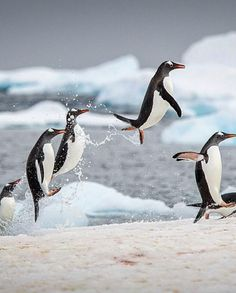 In honor of Penguin Awareness Day (January take a tour of the most scenic places to see the cuddly creatures in their natural habitats. Gato Animal, Mundo Animal, Penguin Love, Cute Penguins, Arctic Penguins, Penguin Parade, Wild Life, Beautiful Birds, Animals Beautiful