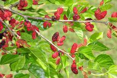 Moruša: Stromová malina opäť v móde? Strawberry, Garden, Garten, Strawberries, Lawn And Garden, Outdoor, Tuin, Gardens, Yard