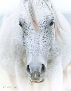 arabian white horse | by mari-mi
