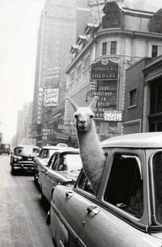 City Llama!  Lol!!! This cracks me up, not sure why...