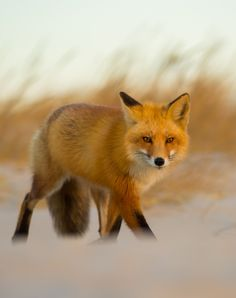 Red Fox by Khurram Khan on 500px