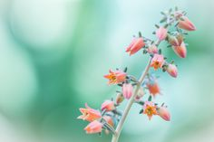 Echeveria by L.th  on 500px