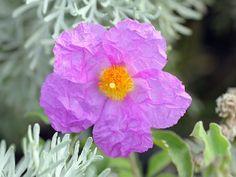 Cistus (Rock Rose) Essential Oil: A Natural Wound Healer Cistus Incanus Tee, Wounded Healer, Rock Rose, Rose Essential Oil, Best Oral, Rose Oil, Healthy Teeth, Oral Hygiene, Medicinal Plants