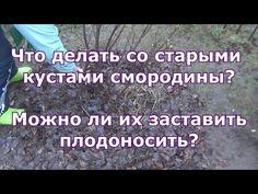 Весенняя обрезка старой черной смородины и уход за ней - YouTube
