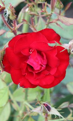 The rose gave the castle its name. This is a beautiful red rose from the royal garden. Copyright: Rosenborg Castle / Rosenborg Slot