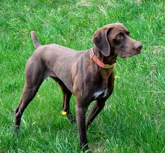 Dog Breed: German Short Hair Pointer. Love the different colors that come with this breed