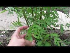 Plante sauvage LE POURPIER comestible et médicinale - YouTube