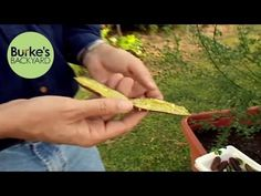 Don Burke looks at the citrus of choice at the moment, limes, and shows a few varieties that you can grow yourself. Limes, Garden Inspiration, Conditioner, Backyard, Gardening, Plants, Patio, Lawn And Garden, Backyards