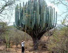 blazepress:  Cactus in Oaxaca.