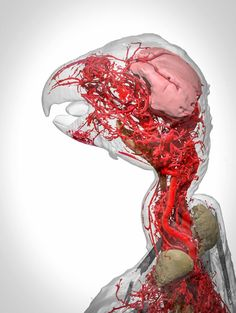 The blood vessels in an African grey parrot