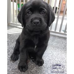 The properties we love about the Active Chocolate Labrador Puppy .-- The properties that we have at Active Chocolate Labrador Puppy love …, Black Puppy, Black Lab Puppies, Cute Dogs And Puppies, Pet Dogs, Pets, Doggies, Corgi Puppies, Puppy Husky, Weiner Dogs