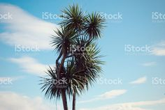 Looking up to the iconic Ti Kouka against a late summer blue sky with. New Zealand Landscape, Tree Images, Kiwiana, Image Now, Looking Up, Fine Art Photography, Royalty Free Stock Photos, Sky, Cabbage