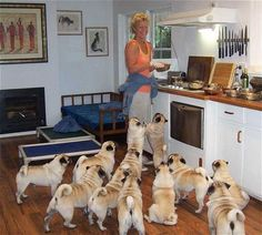Look at all those pugs!
