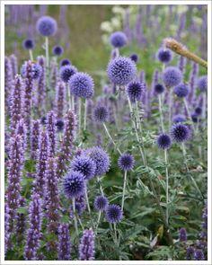 Przegorzan pospolity 'Veitchs Blue' | dorasta do 75 cm wysokości i szerokości. 6,90