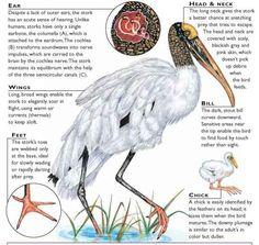 Wood Stork Stork Bird, Botanical Drawings, Storks, Birds, Watercolor, Ink, Wood, Alcohol, Animals