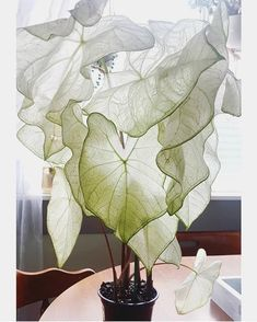moonlight caladium 🌙 adding this beauty to my plant wish list - Indoor Plants. - moonlight caladium 🌙 adding this beauty to my plant wish list – Indoor Plants and Floral Arran - Cool Plants, Potted Plants, Garden Plants, Indoor Plants, Indoor Plant Decor, Potager Garden, House Plants Decor, Colorful Plants, Unusual Plants