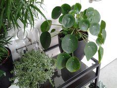 sansevieria cylindrica pinteres. Black Bedroom Furniture Sets. Home Design Ideas